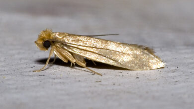 Photo of What Causes Carpet Moths?