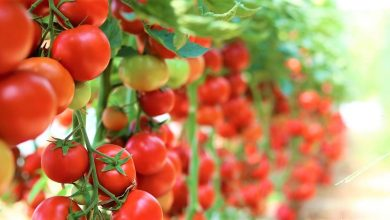 Photo of Tomato Farming Business with High Yield – Complete Guide